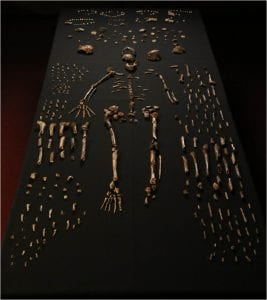 Composite skeleton of Homo nadeli along with other bones found at the Rising Star Cave in South Africa.  Photo: Lee Berger, Wits, photographed at Evolutionary Studies Institute
